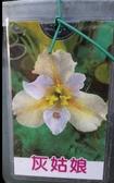 水生植物 ** 鳶尾花-灰姑娘 ** 8吋盆/ 高40-60公分/花色高雅【花花世界玫瑰園】S