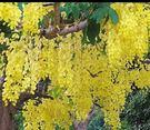 喬木 **阿勃勒 **150公分高苗/盛開的黃金雨(圖為參考用)【花花世界玫瑰園】s