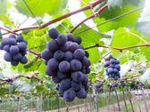 [彰化]採果體驗-奈米休閒農場〔巨峰葡萄、無花果、木瓜〕