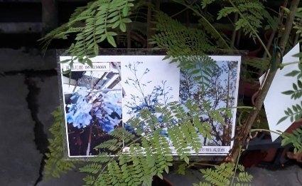 喬木 ** 藍花楹 ** 6吋盆/高50-60公分/優良庭園用樹【花花世界玫瑰園】m