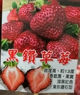 尚未開花結果 [ 黑鑽草莓盆栽 ] 5寸盆 大果新品種草莓苗~季節限定~ 先確認有沒有貨再下標!