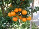 [台中]採果體驗-公道農園(柑橘、檸檬)...