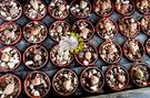 [小石頭玉] 1寸盆 活體多肉植物 仙人掌多肉盆栽 送禮小品盆栽 室外半日照佳