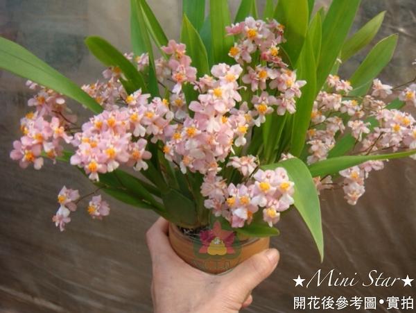 Mini Star 千姿蘭園Chian-Tzy Orchids 迷你蘭花 文心蘭 Oncidium -千姿羅曼香