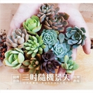 X多肉植物成株3吋景天科 x 台灣農場, 款式隨機出貨【Z0001】