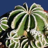 ⓒ辛頓花龍種子(5顆裝) 多肉植物仙人掌種子【D14】