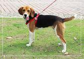 狗狗牽引繩中型犬大型犬胸背帶金毛背帶拉布拉多狗鏈狗繩大型狗 米希美衣