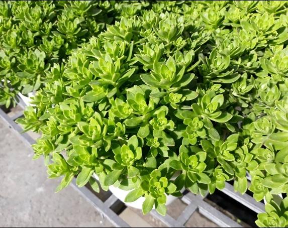 花花世界_多肉植物--玫瑰景天--**多年生草本植物**/6吋盆/TC