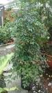 花花世界_圍籬樹苗--南天竹,花小白色--冬季變紅色/8吋盆/高90公分/Tm