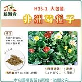【綠藝家】大包裝H38-1.非洲菊種子0.7克(約160顆)