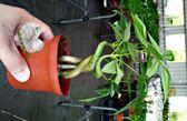 活體植物 [彎曲造型馬拉巴栗 美國花生 發財樹] 室內室外皆可 3吋盆栽