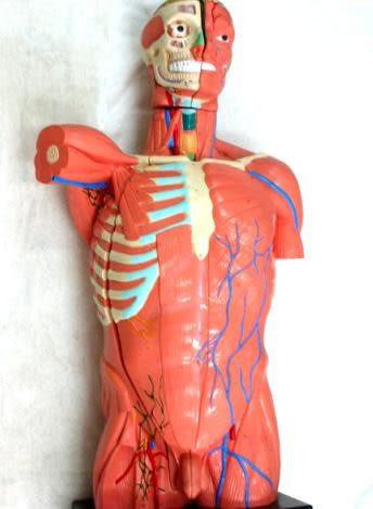JP-239A成人肌肉臟模型(實用的人體模型/軀幹模型/器官模型/教學模型/解剖模型/護理模型)
