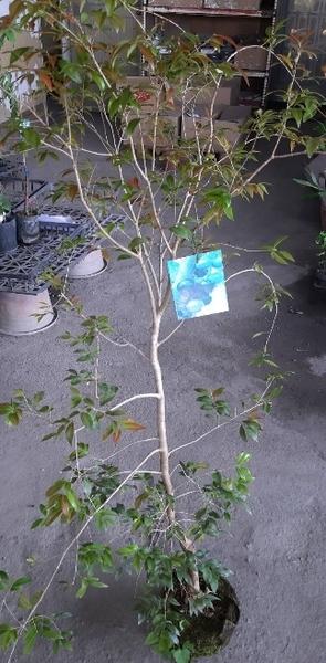 水果苗 ** 卡賓嘉寶果 ** 7吋盆/高60cm/樹葡萄【花花世界玫瑰園】m