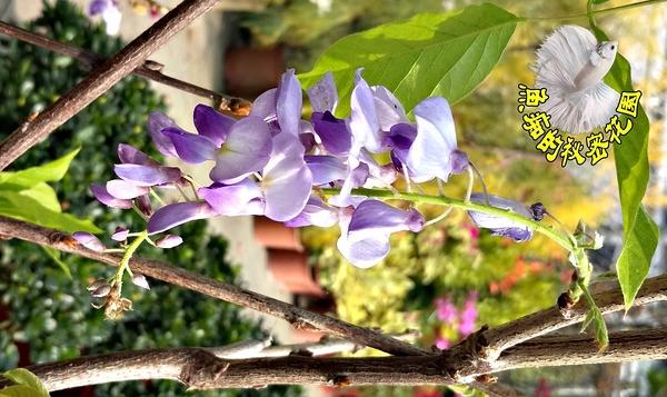 [老欉日本紫藤花] 多年生室外植物 5-8吋活體花卉盆栽 過年送禮花卉盆栽