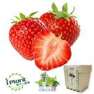 iPlant 積木小農場 - 草莓 瓜果盆栽 台中花博 紀念品【心安購物】