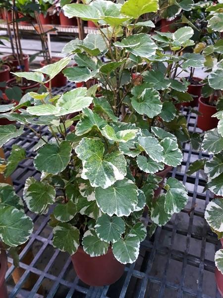 花花世界 常綠灌木--福祿桐--**長年綠葉**/7吋/高30-40CM/ TC