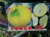 水果香草 **冬蜜黃金果 ** 4吋盆/ 20-40公分高/冬天產量高/【花花世界玫瑰園】R