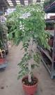 花花世界_室內或送禮盆栽--進財樹--叫做旺旺樹/尺2盆/150-180公分高/Ts(無法超取)