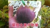 花花世界_水果苗--紫色大果牛奶果--星蘋果/3.5吋盆/高30-45公分/Ts