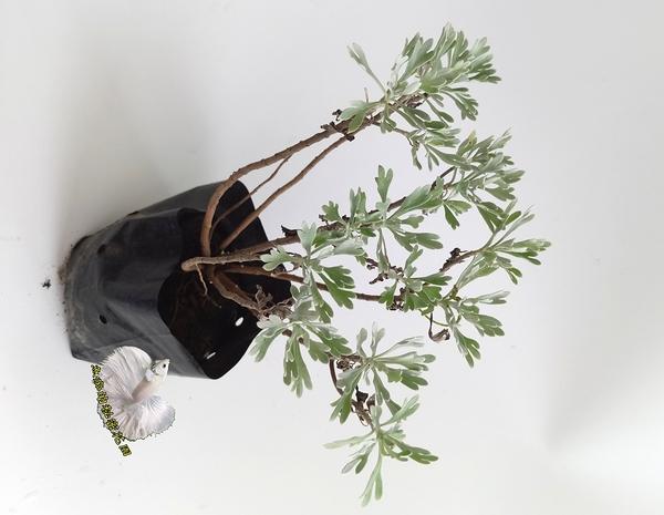 觀賞植物 小芙蓉盆栽  3吋盆活體盆栽, 可泡澡 收驚 喪事