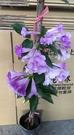 花花世界_藤蔓植物--蒜香藤--會產生濃...