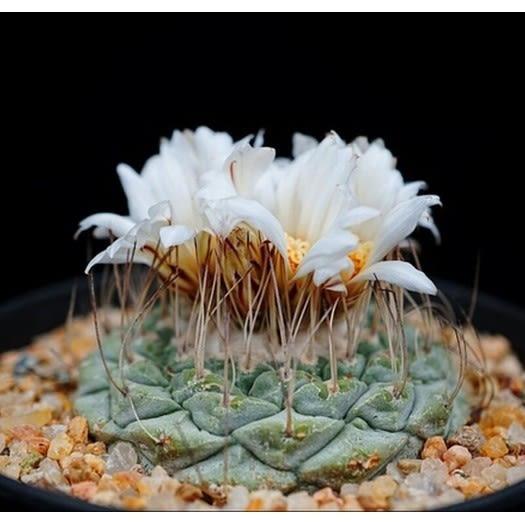 CARMO黃花菊水種子(10顆裝) 多肉植物種子【D56】