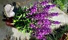 [深紫色天使花盆栽] 5吋盆 活體室外植物 開花植物盆栽