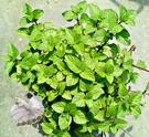 5吋盆 [ 柳橙薄荷盆栽 葉子味道濃厚 ] 活體香草植物盆栽, 可食用.料理或泡茶 ~半日照佳~