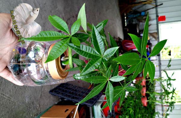 水耕植物盆栽 [彎曲造型馬拉巴栗 美國花生 發財樹] 室內室外皆可