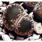 ⓒ弁天玉種子 (10顆裝) 多肉植物紫勳系生石花種子【A55】