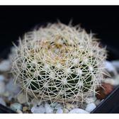 CARMO蜘蛛丸種子(5顆裝) 仙人掌種子【J26】