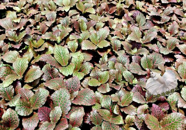 活體 [紅網紋草] 室內植物 3吋盆栽 送禮小品盆栽