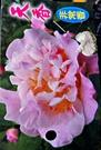 [天香茶花苗 很香] 3.5吋 觀賞茶花盆栽 活體花卉盆栽 半日照 需換盆才會比較快開花
