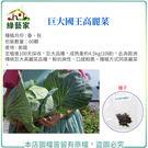 【綠藝家】B22.巨大國王高麗菜種子60...