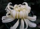 花花世界_季節花卉--壽菊(白色),花序挺拔--過年應景的盆栽/5吋盆/高30-45公分/Tm