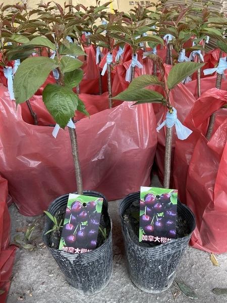 花花世界_季節水果苗--加拿大櫻桃(嫁接苗)--**酸甜好吃**/4.5吋盆/高30~50CM/TC