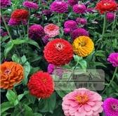 花卉種子 百日草花種子四季易播野花組合花卉種籽景觀花海百日菊花籽-三山一舍