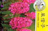 [超香 桃紅色風信子盆栽] 2.5寸盆 室內濃香花卉 多年生球根類觀賞花卉盆栽