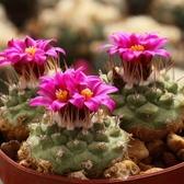 CARMO赤花菊水仙人掌種子(10顆)【D53-1】