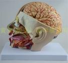 頭部附腦動脈模型 人體腦部解剖模型 口腔鼻咽喉 頭部顱腦外科 腦