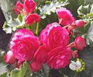 [粉色玫瑰海棠花 麗格海棠花] 5-6寸盆 室內花卉 多年生觀賞花卉盆栽