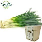 iPlant 積木小農場 - 青蔥