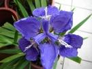水生植物 ** 鳶尾花-紫蝴蝶 ** 8吋盆/ 高40-60公分/ 高貴優雅【花花世界玫瑰園】R