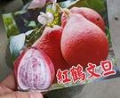 4-5吋盆 [紅鶴文旦盆栽] 換大盆子或...