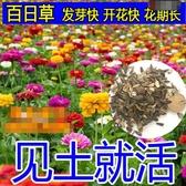 花卉種子 百日草種子多年生四季好養花期長庭院新手易種花卉種籽四季播-凡屋