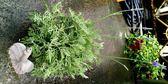 [羽葉薰衣草盆栽]  精油用. 不可食用!!!  5吋盆 室外植物活體盆栽 藥用香草植物盆栽