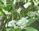 喬木 ** 香水梅 ** 7吋盆/高30-45cm /花朵散發優雅的芳香【花花世界玫瑰園】R