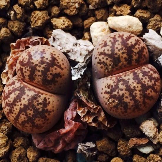 CARMO青蟹壽花葵種子(3顆裝) 十二卷種子【J55】