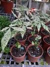 花花世界_室內植物--斑葉馬拉巴栗--**抒壓漂亮**/4吋盆/TP