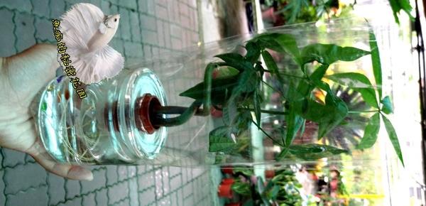 玻璃瓶水耕植物盆栽 [編織造型馬拉巴栗 美國花生 發財樹] 室內室外皆可